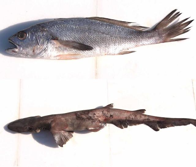 テレビ東京の番組で東京湾で生息していることが初確認された「クログチ」(上写真)と「ヘラザメ」(C)テレビ東京