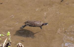 アカミミガメの生き残りが泳いでいた習志野市の森林公園