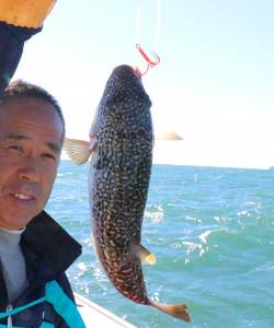 釣り上がった良型のショウサイフグ(カメラ・越川 亘)