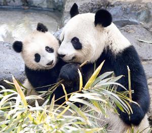公開当初から大人気だったシャンシャン(左)とお母さんのシンシン(東京都動物園協会提供)