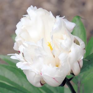 新品種の芍薬「令和」。見頃に近づくと花びらは剣先のように鋭くなり、白とピンクのグラデーションも深まる