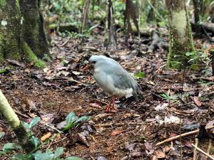 リビエールブルーでは野生のカグーを目の前で見ることができる(カメラ・太田 涼)
