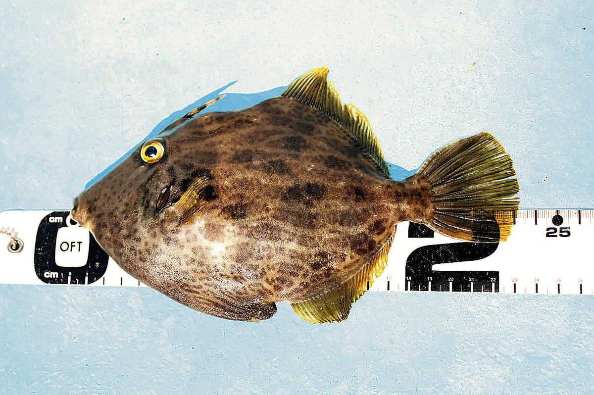 手石島沖で釣れた23センチのカワハギ(はるひら丸で)