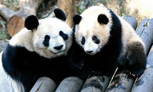 上野動物園からパンダが消える…17年誕生のシャンシャン、繁殖できる ...