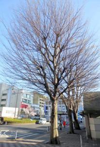 東村山駅前に立つ「志村けんの木」
