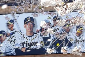 甲子園駅近くに掲げられた矢野監督や選手の看板の前を、散り始めた桜の花びらが舞う(カメラ・石田 順平)