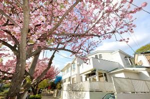 大林監督の自宅前では八重桜が満開になっていた