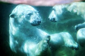 水中で見つめ合うホッキョクグマのカイ(左)とポーラ(4月28日撮影)