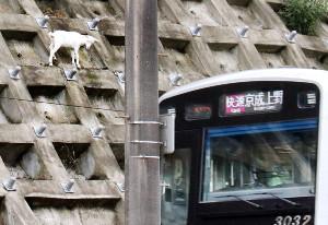 京成線沿いの斜面に住み着いたヤギ