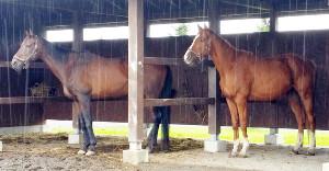 雨のなか馬房でポーズを決める(左から)ナリタセンチュリーとアッシュゴールド