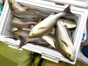 飯岡沖で釣れたイサキ(太幸丸提供)