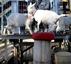 他のヤギとエサをもらう場所を取り合うポニョ(右)