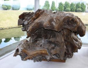 「特別天然記念物 魚津埋没林博物館」埋没林のメイン展示