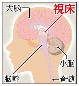 解剖図・視床
