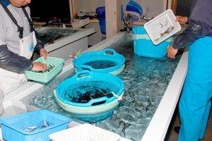定置網で捕獲されたワカサギの親魚は大きな水槽に移され、ここで産卵する