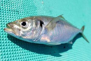 保田沖で釣れたアジ。脂が乗ったものは金色に光る