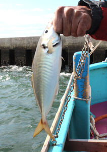 東京湾で釣れたアジ。丸々と太っている
