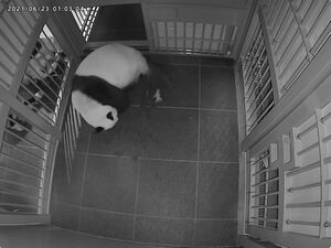 ジャイアントパンダ「シンシン」の1頭出産直後の様子(公財)東京動物園協会提供
