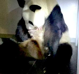 生まれた子どもを抱えるシンシン(公財)東京動物園協会提供